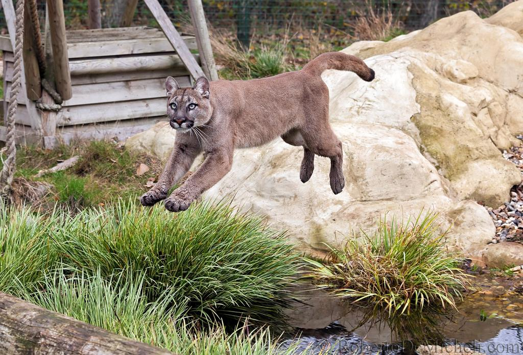 slides/IMG_0803.jpg puma, mountain, lion, cougar, wildlife, feline, big cat, cat, predator, fur, eye, jump WBCW122 - Puma - Mountain Lion - Jump